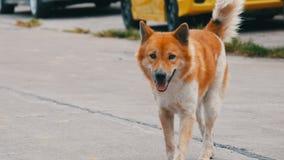 O cão branco-e-marrom desabrigado só corre através das ruas da cidade em Ásia vídeos de arquivo