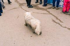 O cão branco está andando ao longo da estrada Cão do puro-sangue perdido na cidade Cão sujo que procura proprietários entre povos fotos de stock