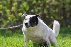 O cão branco gordo com o ponto preto na cara tem o divertimento na grama verde fotos de stock