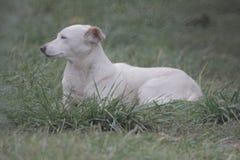 O cão branco, grande do companheiro da raça do cão encontra-se na grama, retrato do close up no fundo fotografia de stock royalty free