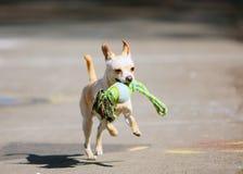 O cão branco que corre com o brinquedo em sua boca Cão ativo fotografia de stock