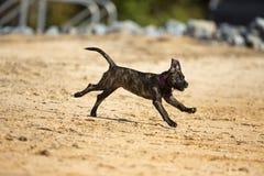 O cão Brindle da mistura do laboratório do pugilista funciona na água Foto de Stock Royalty Free