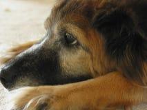 O cão cansou-se Imagem de Stock