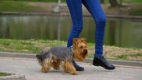 O cão coloca saltos para a frente e para trás entre os pés filme