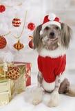 O cão com crista chinês calvo vestiu-se em um traje do Natal Fotos de Stock Royalty Free