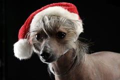O cão com crista chinês vestiu acima Santa Claus em um estúdio escuro Foto de Stock