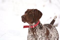 O cão com neve lasca-se na cara Imagens de Stock Royalty Free