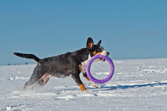 O cão com um brinquedo está correndo Imagens de Stock