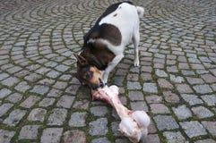 O cão come em um osso grande imagem de stock