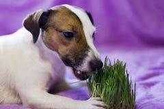 O cão come a grama, fotografia de stock royalty free