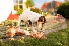 O cão come um osso grande fotos de stock royalty free