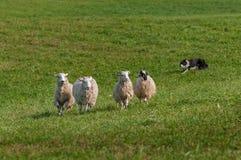 O cão conservado em estoque corre à esquerda atrás do grupo de aries do Ovis dos carneiros Foto de Stock