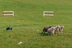 O cão conservado em estoque corre o aries do Ovis dos carneiros no círculo Fotos de Stock