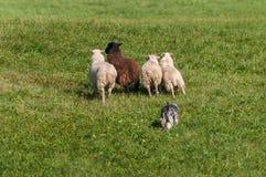O cão conservado em estoque move o grupo de aries do Ovis dos carneiros Fotos de Stock Royalty Free