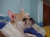 O cão considerável fotografia de stock royalty free