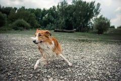 O cão corre na praia de pedra, espirrando Fotos de Stock Royalty Free