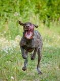 O cão corre rapidamente Fotos de Stock