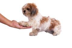 O cão dá a mão isolada no branco Fotografia de Stock