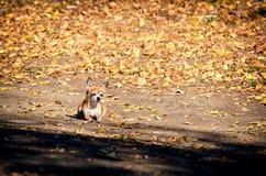 O cão da chihuahua que relaxa em uma estrada iluminou-se pelo sol Folha amarela do outono caída das árvores ao redor O animal de  imagem de stock