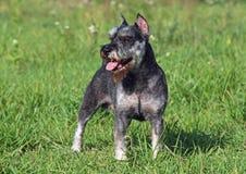 O cão da raça de Zwergschnauzer Fotografia de Stock Royalty Free