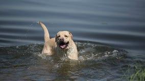O cão da raça labrador retriever nada no lago video estoque