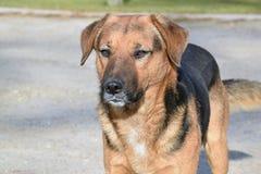 O cão da raça misturada desconhecido Imagem de Stock