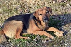 O cão da raça misturada desconhecido Fotos de Stock Royalty Free