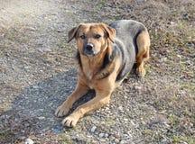 O cão da raça misturada desconhecido Imagens de Stock Royalty Free
