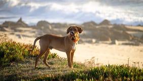 O cão de Brown lambe a cara imagens de stock royalty free