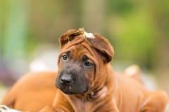 O cão de Brown senta-se para tomar fotografias, fotos de stock