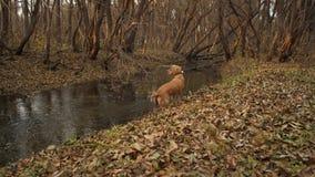 O cão de caça está procurando a pegada na floresta do outono video estoque