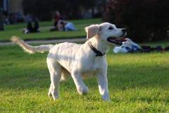 O cão de cachorrinho ativo bonito corre em uma grama verde Imagem de Stock Royalty Free