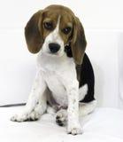 o cão de cachorrinho bonito do lebreiro Imagens de Stock
