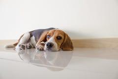 o cão de cachorrinho bonito do lebreiro Fotografia de Stock Royalty Free