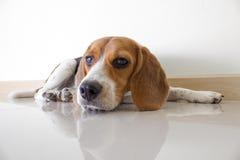 o cão de cachorrinho bonito do lebreiro Fotos de Stock