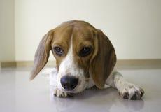o cão de cachorrinho bonito do lebreiro Fotos de Stock Royalty Free
