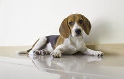 o cão de cachorrinho bonito do lebreiro Foto de Stock Royalty Free