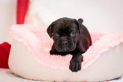 O cão de cachorrinho Cane Corso está encontrando-se em um fogão Imagem de Stock