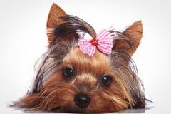 O cão de cachorrinho do yorkshire terrier está encontrando-se para baixo para descansar foto de stock