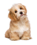 O cão de cachorrinho havanese avermelhado do assento bonito está olhando para cima Fotos de Stock