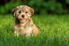 O cão de cachorrinho havanese pequeno feliz está sentando-se na grama fotos de stock