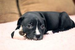 O cão de cachorrinho novo sonolento que encontra-se na cobertura cor-de-rosa com seu brinquedo e vai Imagens de Stock