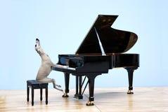 O cão de corrida joga o piano de cauda imagens de stock royalty free