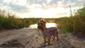 O cão de estimação do yorkshire terrier no por do sol pelo lago no steadicam da natureza disparou no vídeo de movimento Fotos de Stock