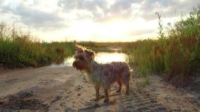O cão de estimação do yorkshire terrier no por do sol pelo lago no steadicam da natureza disparou no vídeo de movimento Imagens de Stock Royalty Free