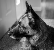 O cão de guarda - pastor alemão Fotografia de Stock Royalty Free