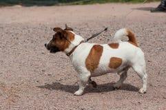 O cão de Jack Russell manteve-se em uma trela em exterior fotos de stock royalty free
