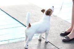 O cão de Jack Russell olha acima em seu mestre fotos de stock