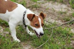 O cão de Jack Russell Terrier fotografia de stock royalty free