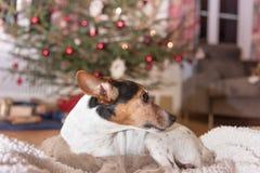 O cão de Jack Russell Terrier do Natal está olhando lateralmente em Cristo fotografia de stock royalty free